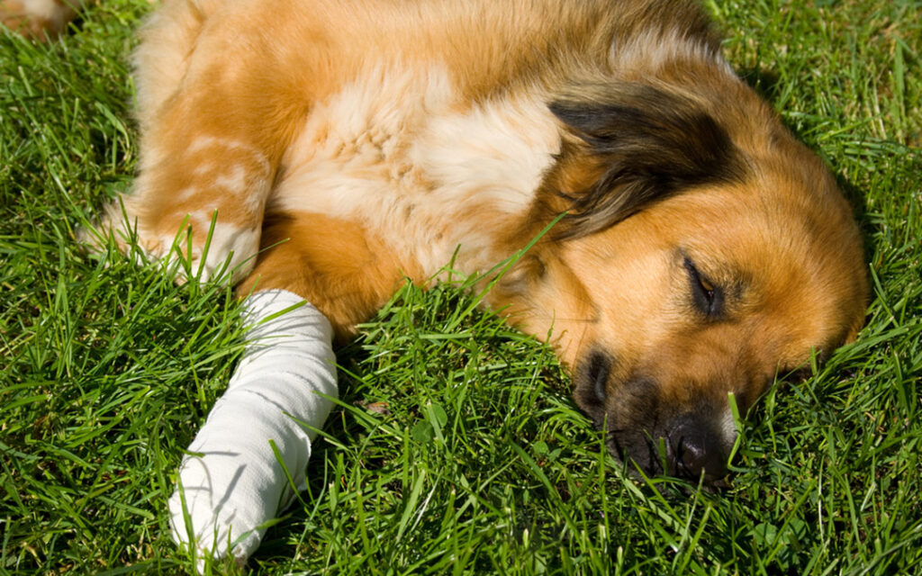 treating wounds in pets
