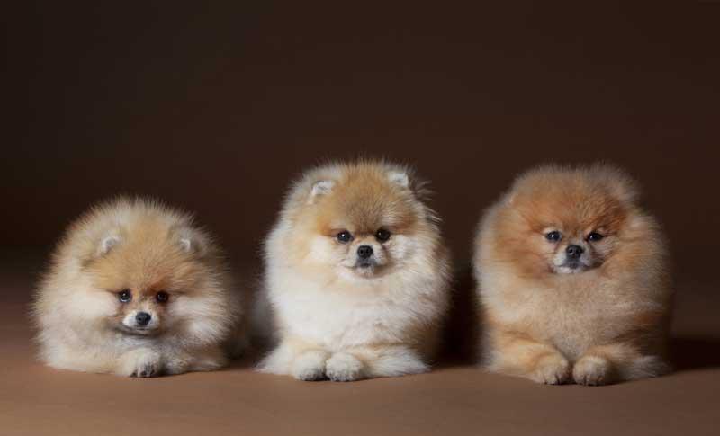 Furry-dog