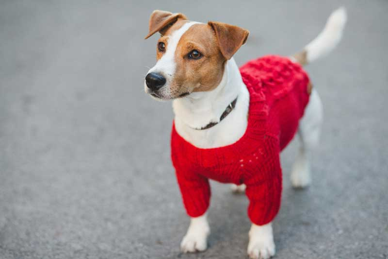 dog-in-sweater