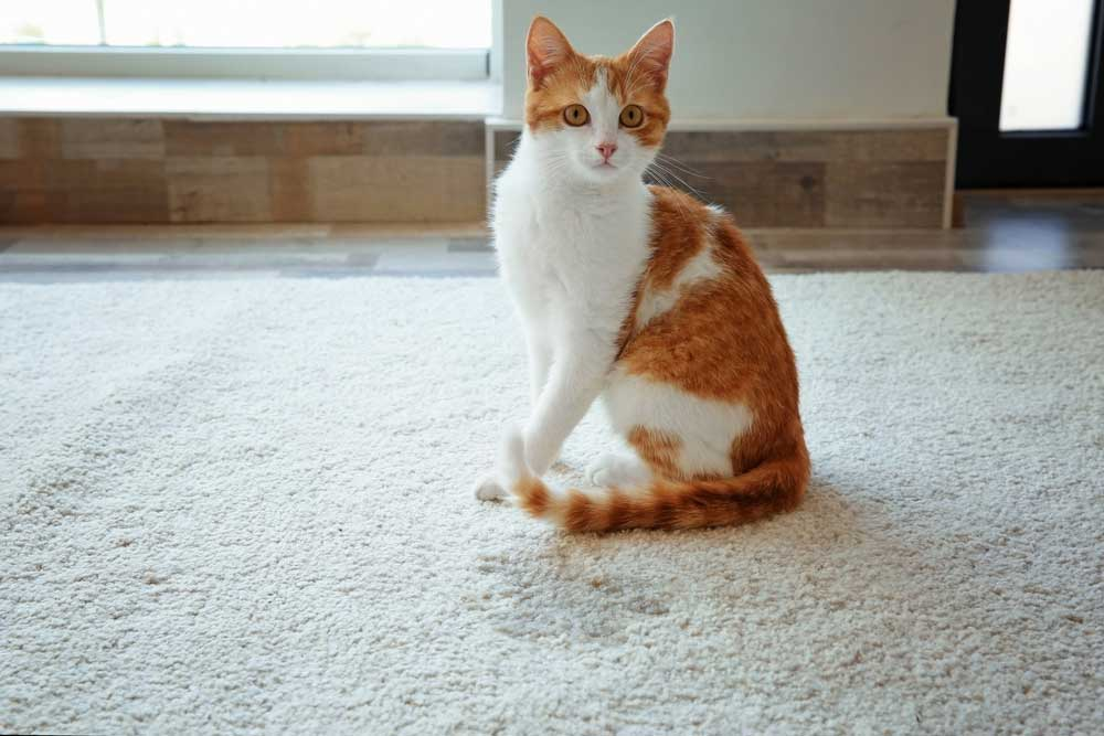 How To Clean Up Cat Urine Homeopet