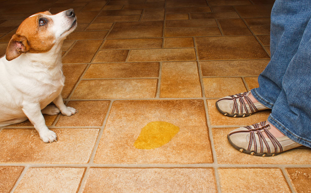 Canine Urinary Incontinence - The Leaky Dog - HomeoPet