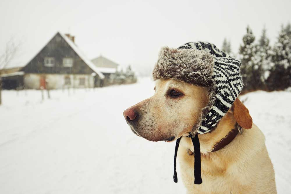 older-dog-in-winter