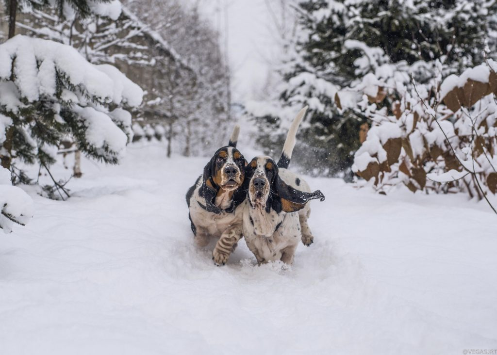 dogs-in-snow