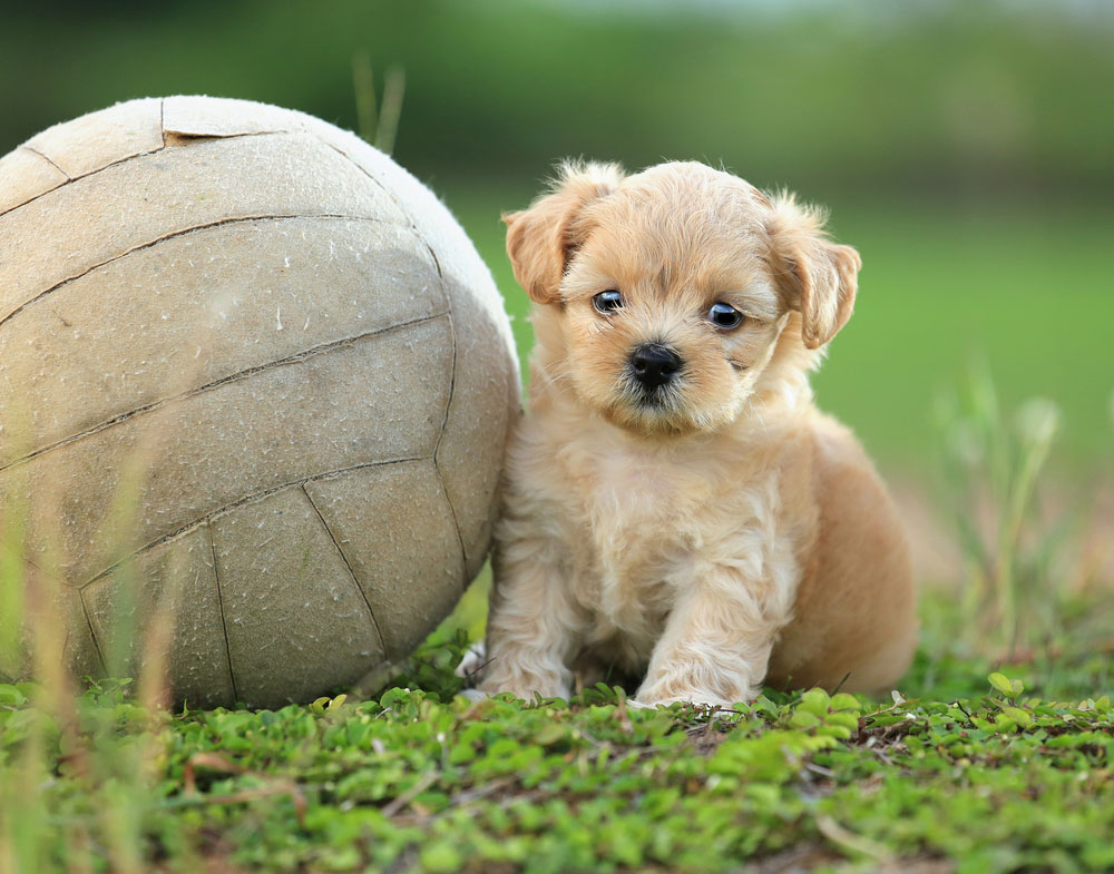 puppy-soccer