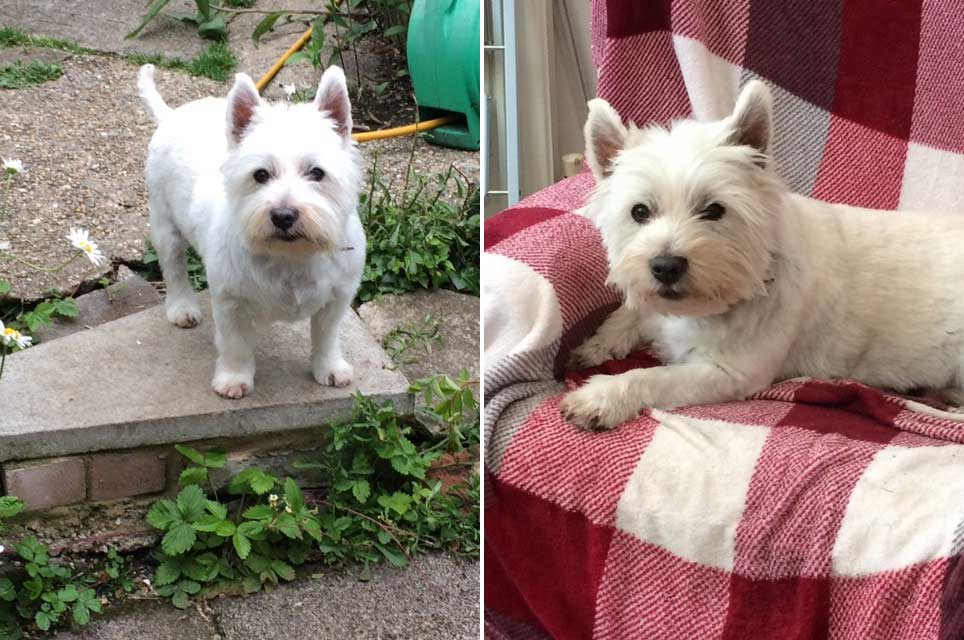 Harry-the-westie