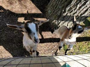 Molly&Hank-goats1